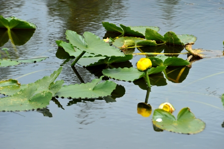 Wetland Water Lily